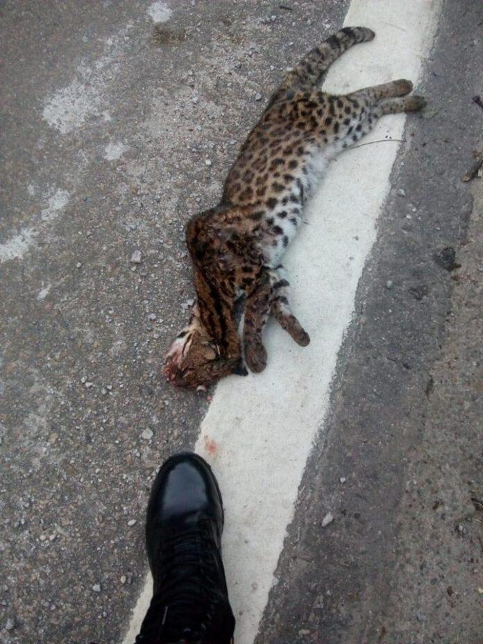 Jaguatirica atropelada
