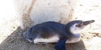 Pinguim foi encontrado cansado e desidratado (Foto: Divulgação Instituto Argonauta)
