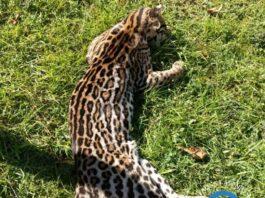 Animais silvestres vítimas de atropelamento em Ubatuba (Imagem: Profauna)