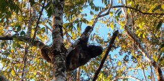 Bicho-preguiça foi resgatado no bairro Golfinhos (Imagem: Polícia Ambiental)