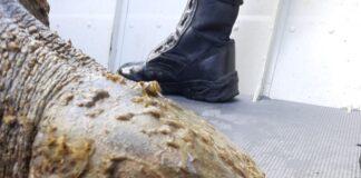 Tartaruga Oliva foi resgatada em Ubatuba (Imagem: Polícia Ambiental)