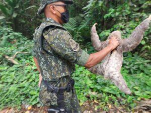 Bicho-Preguiça é salvo de atropelamento na BR-55, em Ubatuba (Foto: Polícia Militar Ambiental)