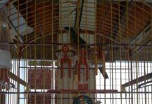 Pássaros resgatado de torneio irregular de canto