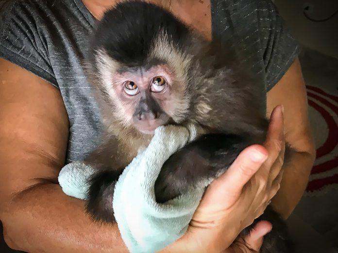 Macaco-prego foi localizado após denúncia (Foto: PA/Divulgação)