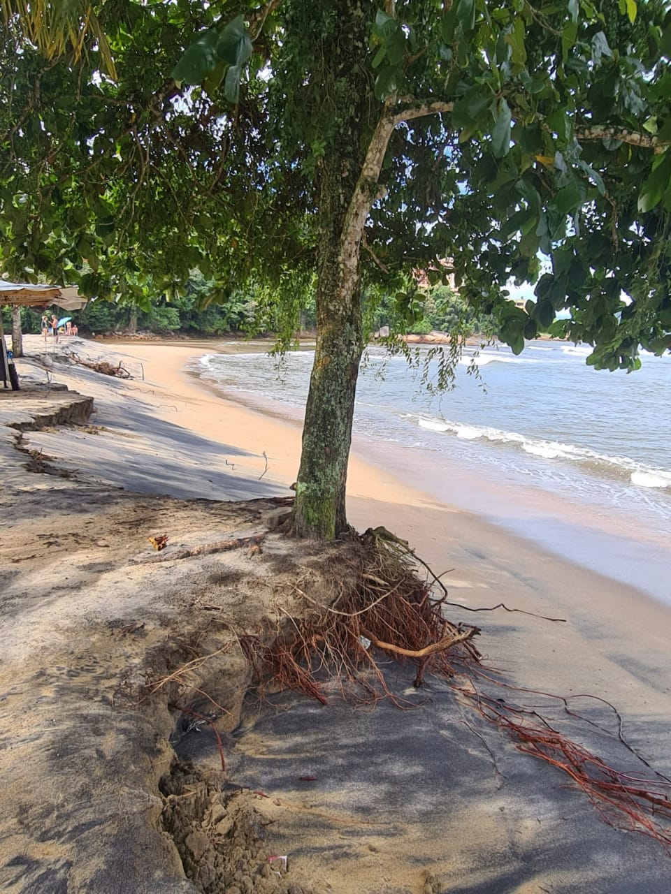Chapéu de sol na Praia da Mococa com raízes expostas (Foto: Divulgação/PMC)