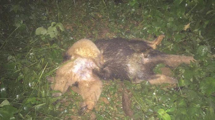Corpo do tamanduá-mirim foi encontrado em trilha de Ubatuba (Foto: Profauna/Divulgação)
