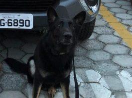 cachorro Chronos