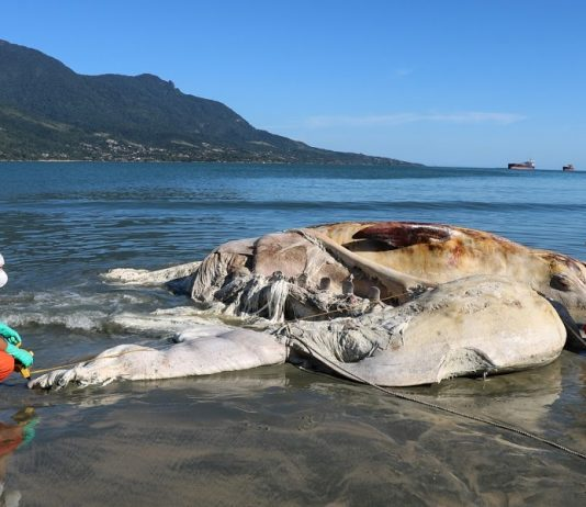 Baleia-de-bryde