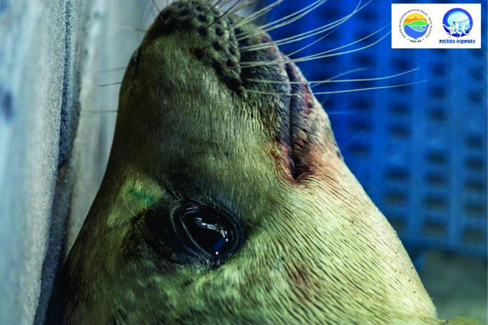 foca-caranguejeira